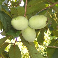 Photo of Wabash® Pawpaw