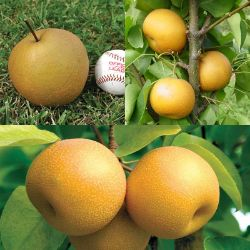 Asian Pear Tree Collection