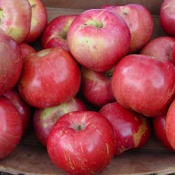 Photo of Northern Spy Apple