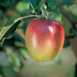 Photo of Sheep's Nose Apple