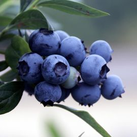 Rubel Blueberry