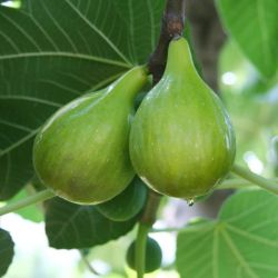 Photo of Italian Honey Fig