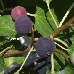 Photo of Beer's Black Fig