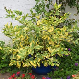 Photo of Variegated Pink Eureka Lemon
