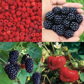 Quick Harvest Berry Patch