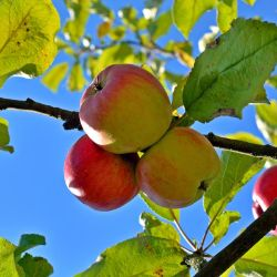 Photo of Ambrosia Apple