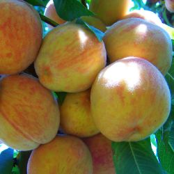 Photo of Babygold 5 Peach