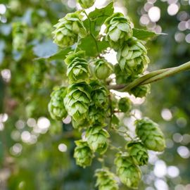 Photo of Nugget Hops