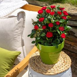 Petite Knock Out® Rose