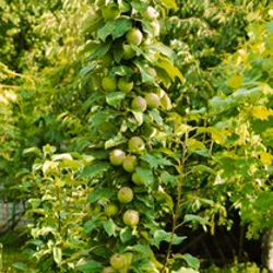 Golden Sentinel™ Columnar Apple