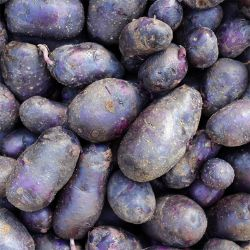 Photo of Caribe' Seed Potato