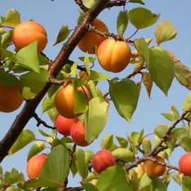 Photo of Chinese Apricot