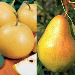 Photo of Stark® Custom Graft® 2-N-1 European/Asian Pear