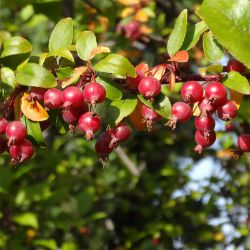 Indian Summer Crabapple fruits