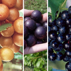 Muscadine Grape Collection