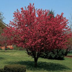 Robinson Flowering Crabapple