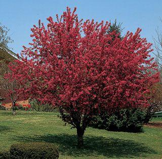 Robinson flowering crabapple flowering trees stark bro 39 s for Flowering ornamental trees zone 5