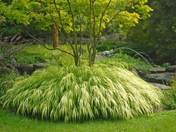 Golden Japanese Forest Grass