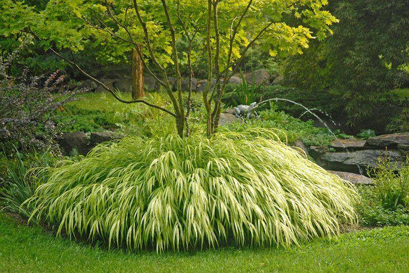 Golden japanese forest grass ornamental grasses stark for Planting plans with grasses
