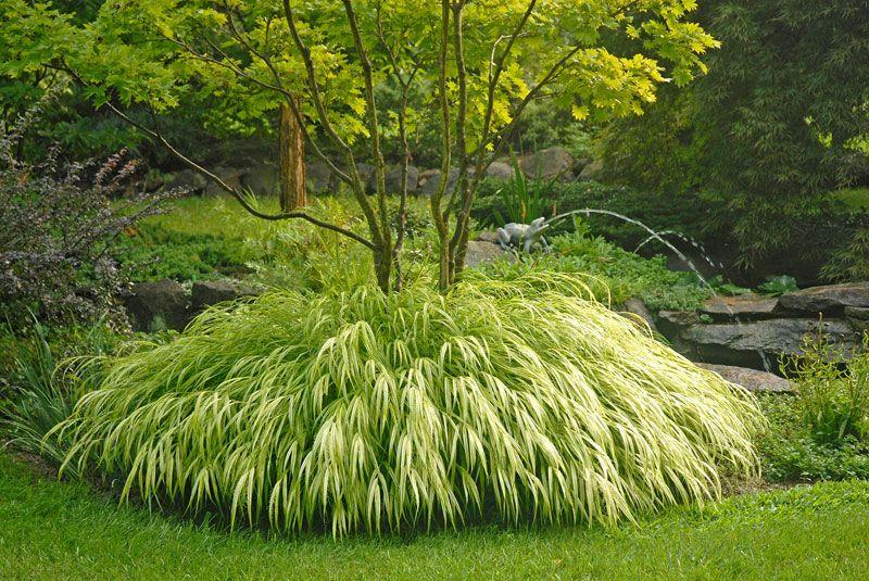 Golden japanese forest grass ornamental grasses stark for Japanese ornamental grass varieties