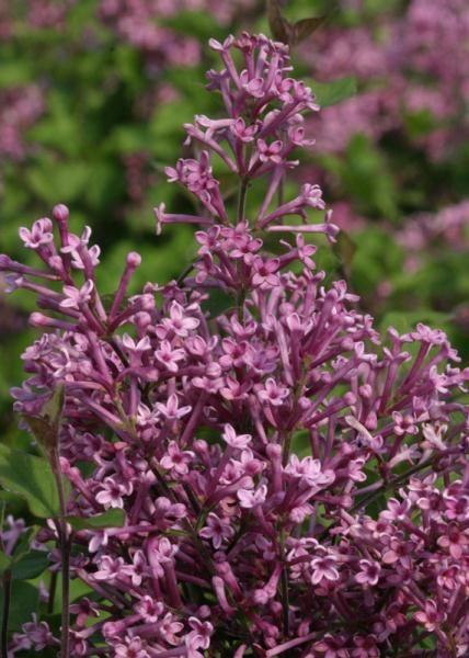 Bloomerang 174 Purple Lilac Lilacs Stark Bro S