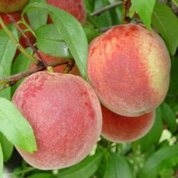 Photo of Stark® Early White Giant™ Peach