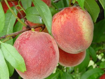 Stark® Early White Giant™ Peach