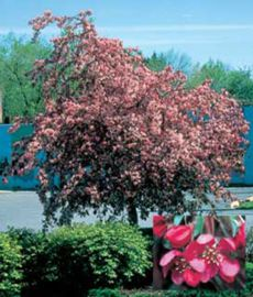 Weeping Candied Apple® Crabapple