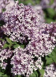 Sugar Plum Fairy® Lilac