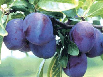 Empress Prune-Plum
