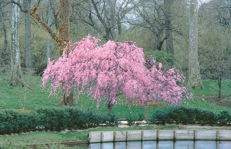 Pink cascade weeping peach flowering trees stark bros mightylinksfo