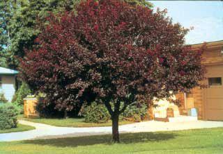 Newport Purple Leaf Plum Flowering Trees Stark Bro S