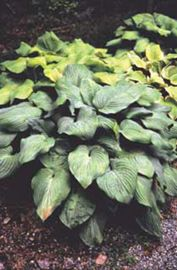 Fried Green Tomato Hosta