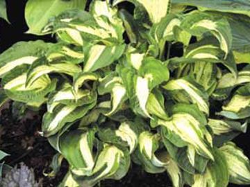 Allegan Fog Hosta