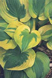 Summer Breeze Hosta
