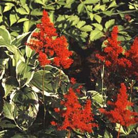 Red Fanal Astilbe