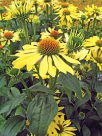 Big Sky™ Sunrise Coneflower