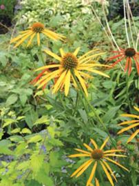 Mango Meadowbrite™ Coneflower