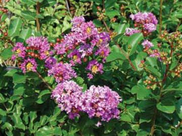 New Orleans Purple Crape Myrtle