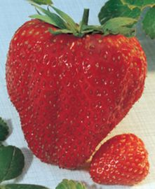 Maxim Strawberry June Bearer