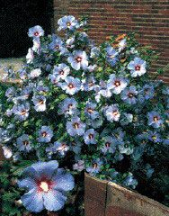 Hardy Hibiscus Shrub Blue Satin™