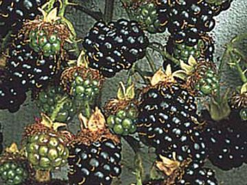 Photo of Black Hawk Raspberry