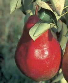 Starkimson® Red Pear