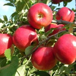 Photo of CrimsonCrisp® Apple