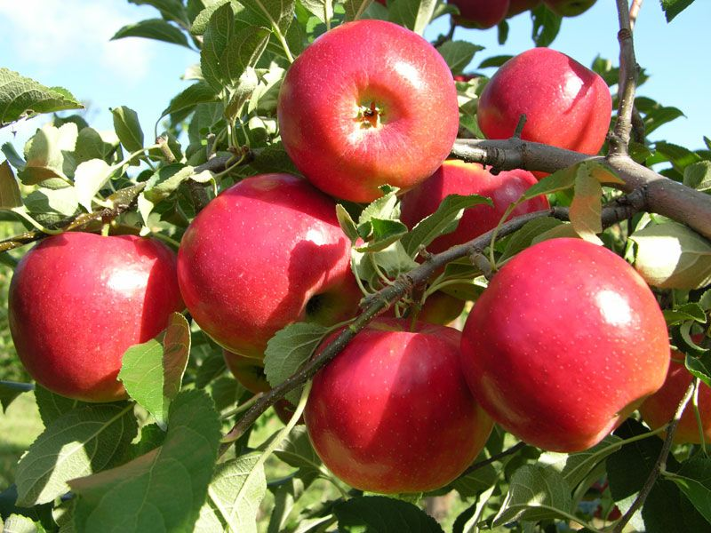 how to start an apple tree