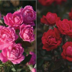 Double Knock Out® Rose Collection