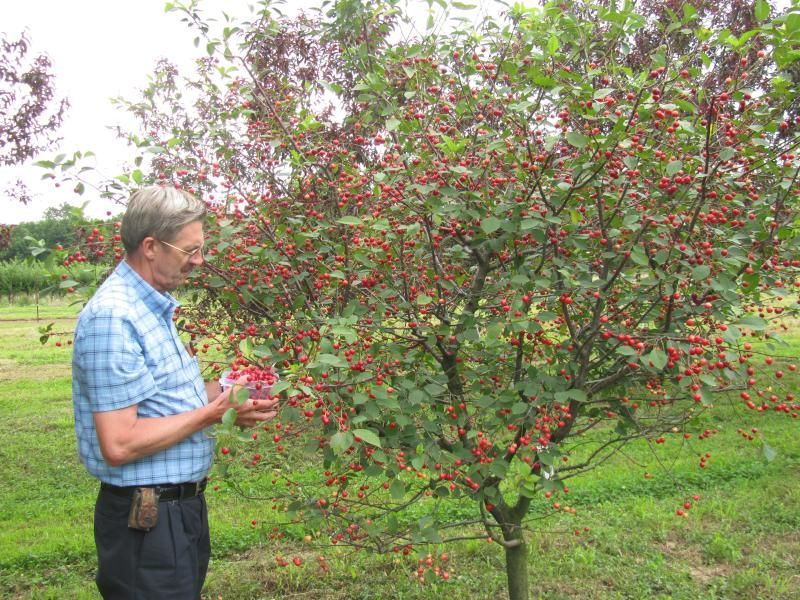 Stark 174 Surecrop Pie Cherry Cherry Trees Stark Bro S
