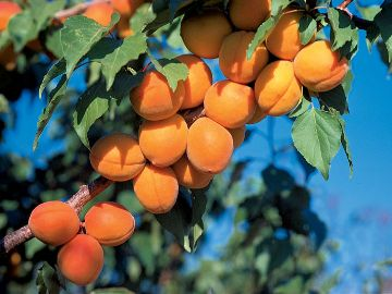 Photo of Harcot Apricot