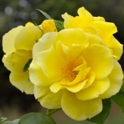 Smiley Face™ Climbing Rose