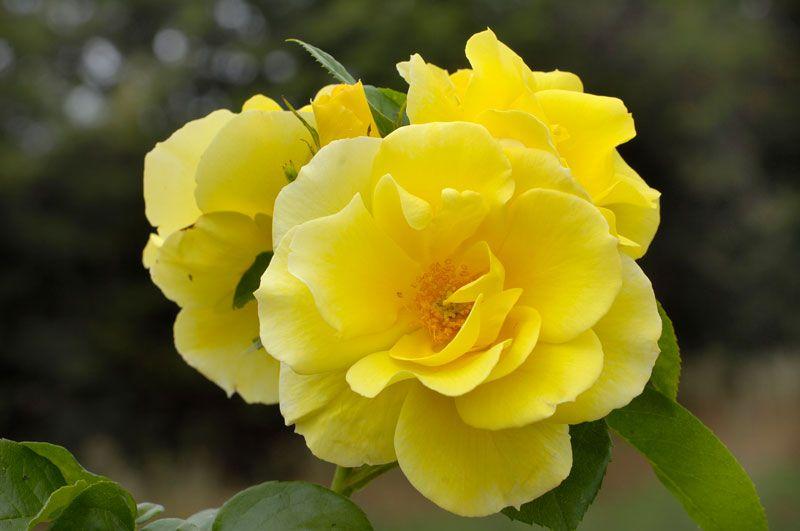 Smiley Face Climbing Rose Roses Stark Bro S